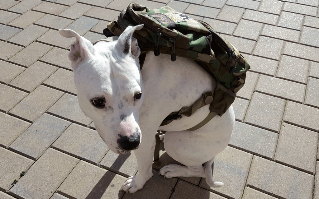 pit bull with backpack