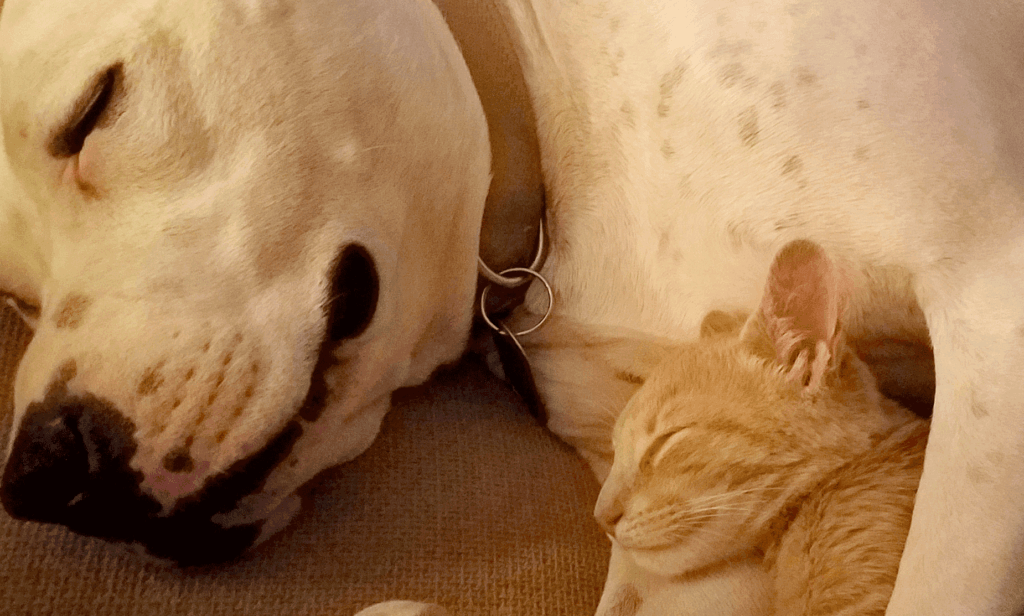 pit bull with cat